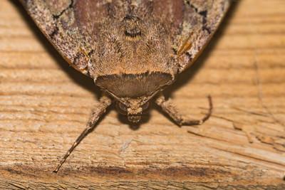 An Angry Moth