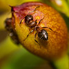 Close Up Of A Little Black Ant