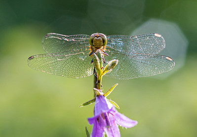 Happy Dragonfly