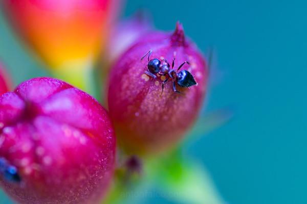 The Little Black Ant