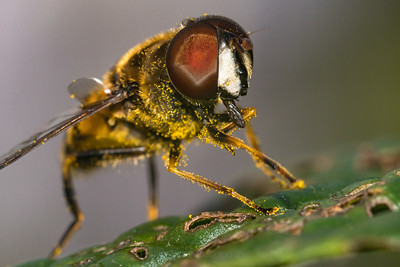 Hoverfly Covered In Pollen