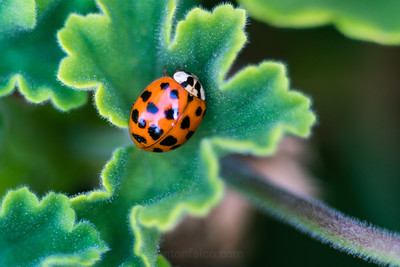 Lady Bug On A Shamrock