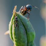 King Kong Carpenter Ant