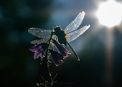 Backlit Dragonfly