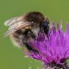 Bumble-bee ~ Humlebi