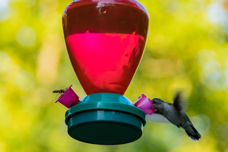A Humming Bird And Yellow Jacket Share A Feast