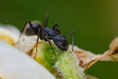 Carpenter Ant Drinking Nectar