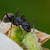 Carpenter Ant Drinking Nectar