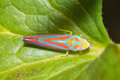 Leaf Hopper Bug