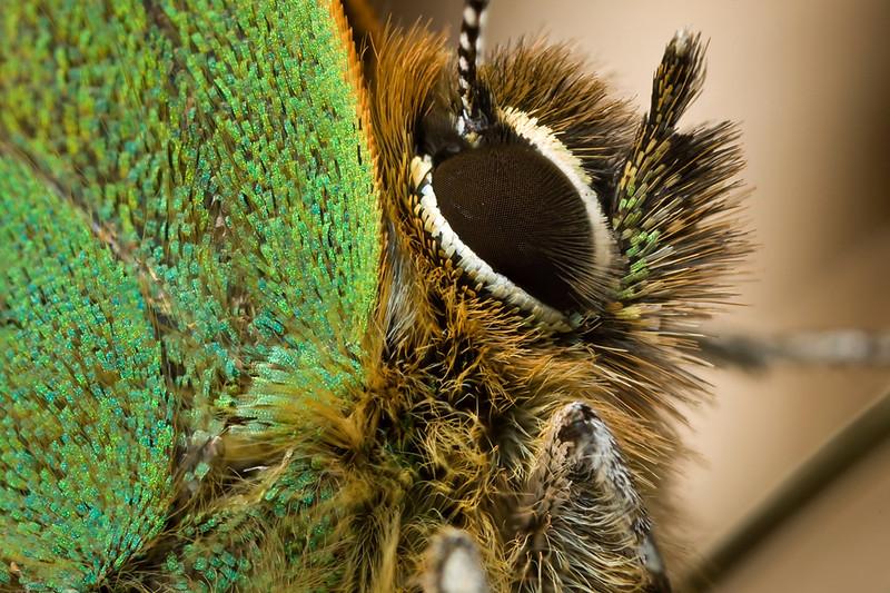 GREEN HAIRSTREAK   Callophrys rubi  #13