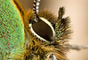 GREEN HAIRSTREAK   Callophrys rubi  #14 (2)