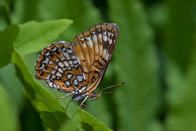 Harris' Checkerspot   (Chlosyne harrisii) (Scudder,  1864) , Weir Hill North Andover, MA Big Foot, F8,  T32 fill flash