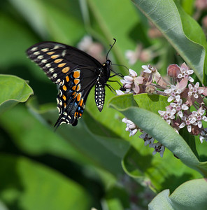 The (eastern) black swallowtail (Papilio polyxenes), CV 180 at F8, Fill flash July 4th butterfly count at Appleton Farm