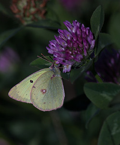 Clouded Sulphur  (Colias philodice)  CV 180mm @ F8 25mm extension, T32 fill flash 3 stop ND filter on auto