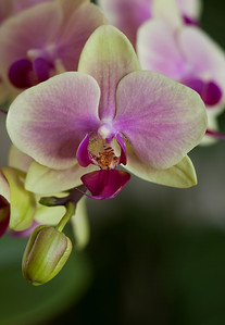 Phal ,   Cosina Voigtländer SL APO-Lanthar 180mm f/4 at f/4: 4 images  Modified by CombineZP
