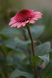 "Echinacea purpurea 'Raspberry Truffle'  a 2011 ""cone-fection byr hybridizer Arie Blom.   Viv S1 90mm at f5.6"