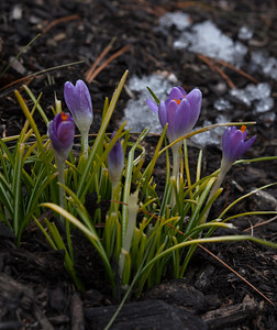 First crocus of season;  OM Zuiko 50mm F2 macro