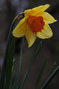Narcissus  Cultivar:Fortissimo,  Big Foot f5.6