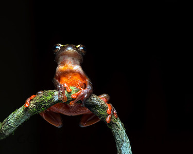 Clown Tree Frog, Ecuador