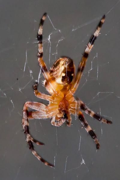 underside of the garden spider