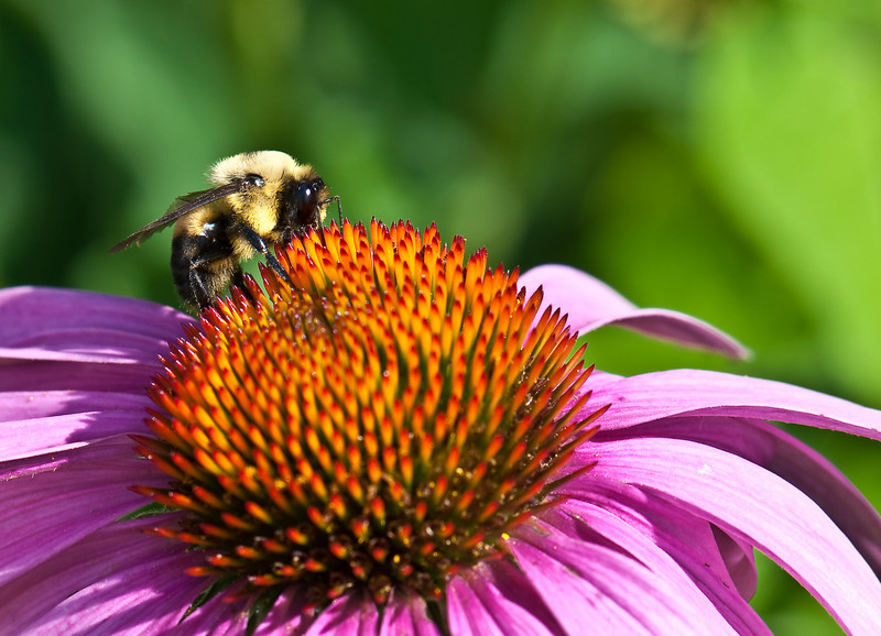 Bee_Closeup1