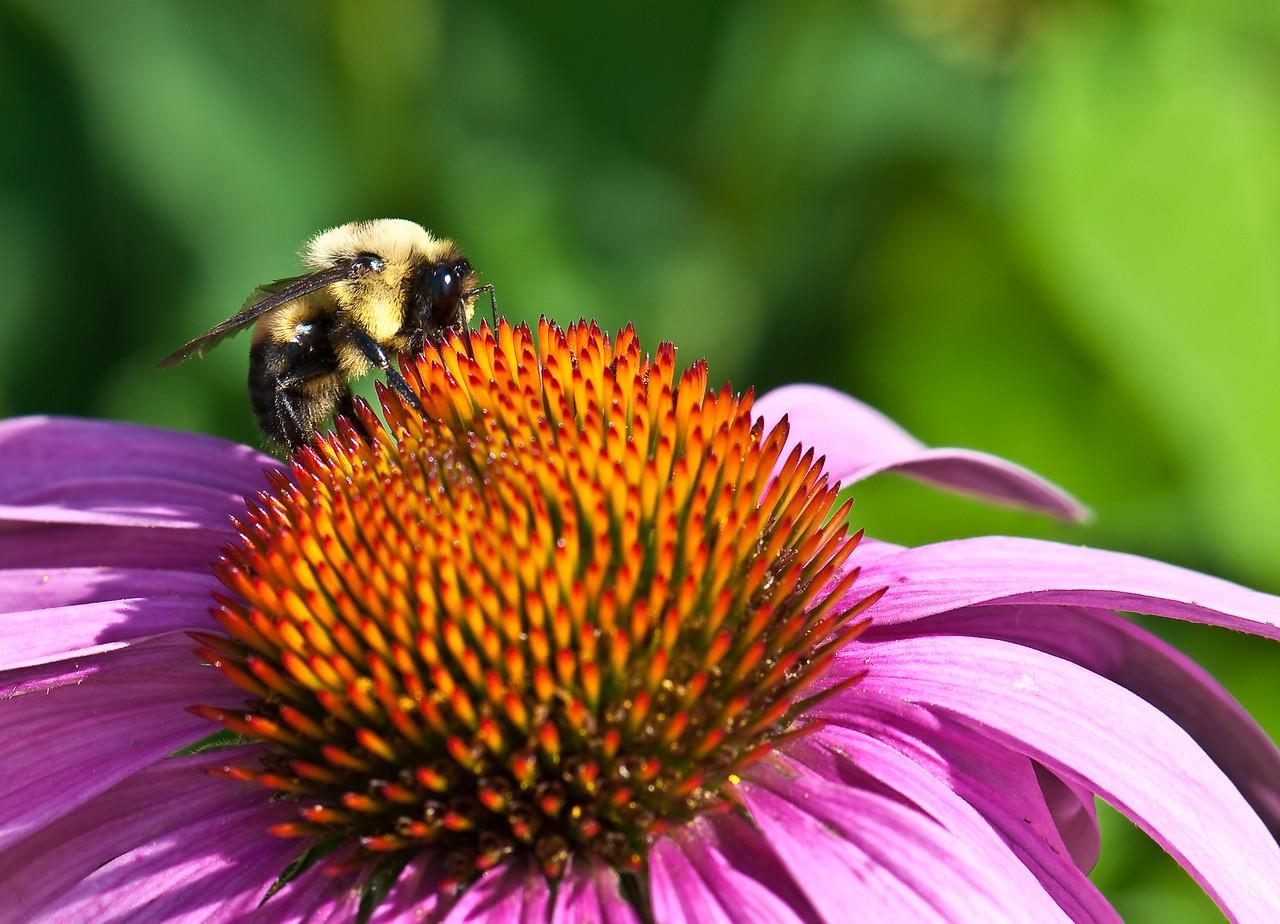 Bee_Closeup1