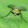 Very Very Very Small Fly<br /> The Long Legged Fly is a very small (in case you missed it in the title) only 3-4 mm in length and about 1mm across.<br /> Not only is it a small fly but it is also very quick, so composing and carefully focusing is almost impossible.  We have spent hours shooting these…<br /> Focus is slightly ahead of the fly as seen in the band on the leaf,  therefore only the head is sharp.