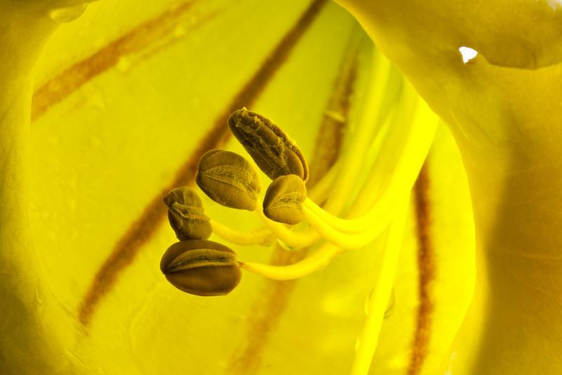 Stamen, Yellow Trumpet