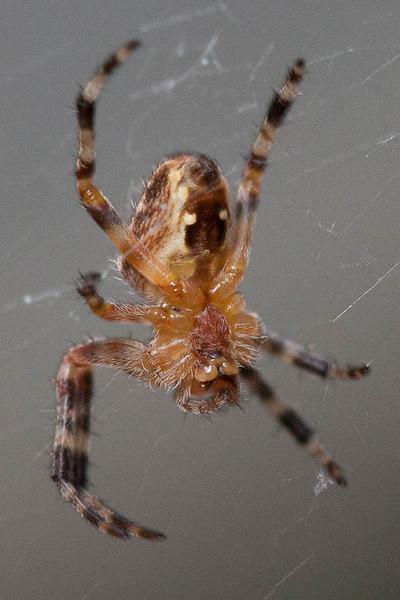 underside of garden spider