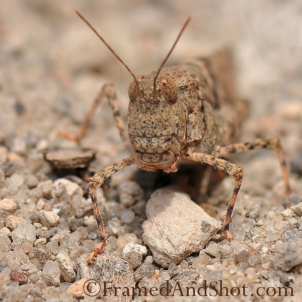 Perfect camouflage Grasshopper