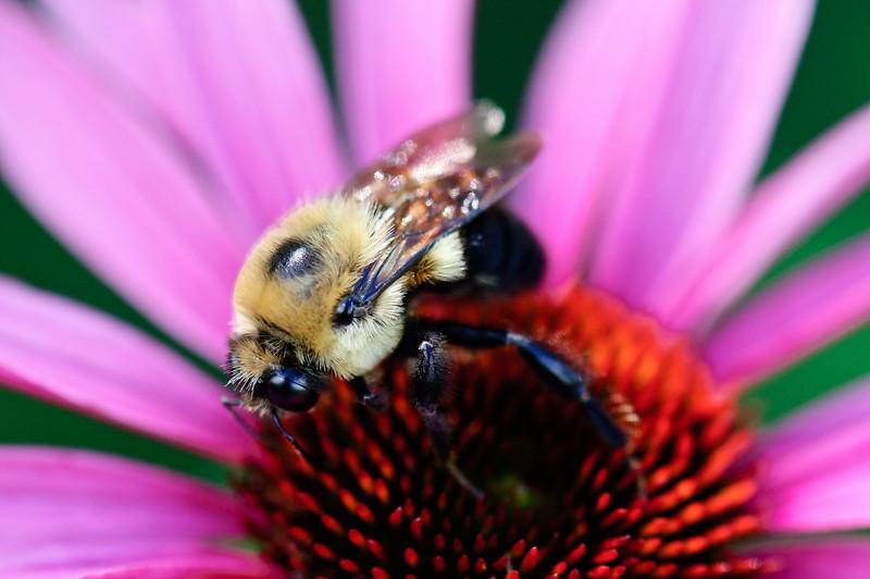 GoldenNorthernBumblebee-1