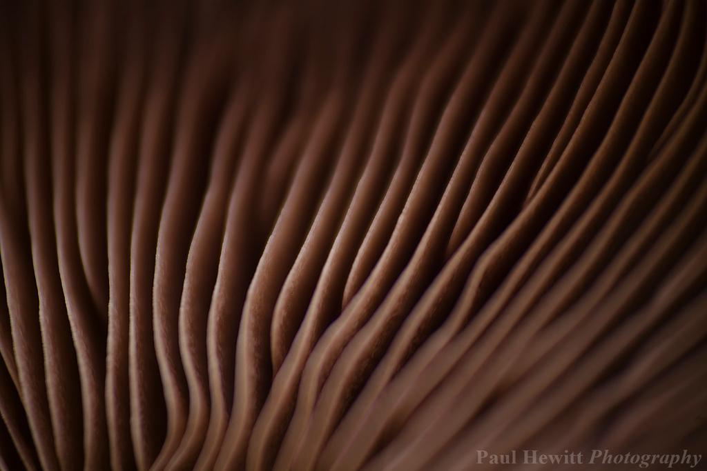 Chestnut Mushroom III