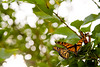A group of Monarch butterflies escape the harsh prairie winds in a cottonwood tree on the Tallgrass Prairie National Preserve in the Kansas Flint Hills.