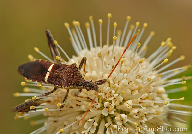 "True Bug<br /> Heteroptera is a group of about 40,000 species of insects in the Hemiptera, sometimes called ""true bugs"""