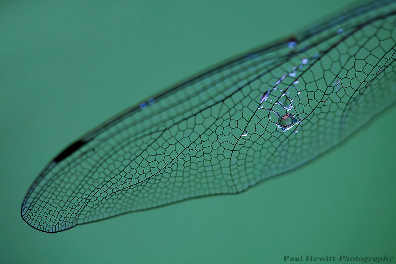 Dragon Fly wing