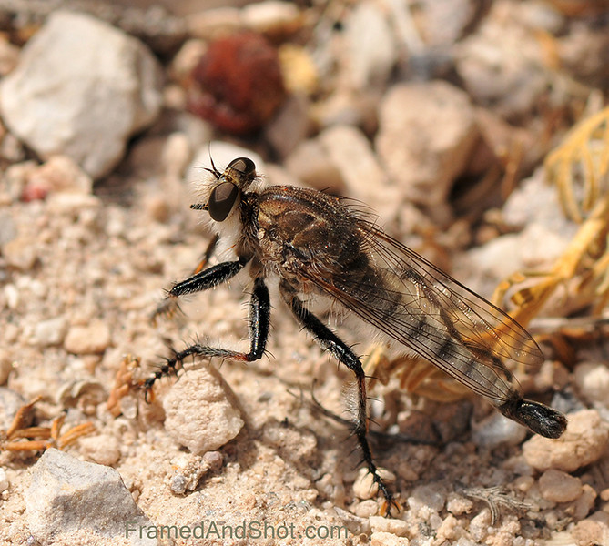 The Robber flies [Asilidae]<br /> one of the largest and most abundant families of present day insects. Distributed through all parts of the world, over 7000 species are known.<br /> This is a predator. The Robber Fly seize their prey in flight and inject their victims with saliva containing neurotoxic and proteolytic enzymes. Adult robber flies attack other flies, beetles, butterflies and moths, various bees, dragon and damselflies, ichneumon wasps, grasshoppers, and some spiders.<br /> Our Robber fly was about 12 mm long and we found him in New Mexico.