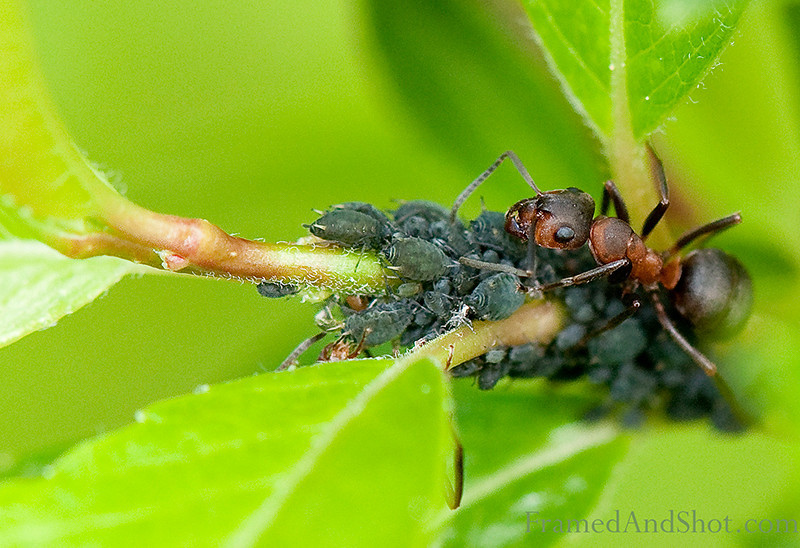 "The Worlds Smallest Cow<br /> An ant ""milk"" these aphids by stroking them with his antennae, in order to get the sweet honeydew the aphids secrete when feeding on plant sap, this has given the aphids the nickname ""ant cows"". The sugars in honeydew are a high-energy food source, which the ant collect.<br /> Did you know that ants evolved from some creatures looking like wasp a long time ago (in fact a very long time ago, around 120 million years)? Today there are between 12000-14000 species of ants, and they live almost all over the world, the only place without them is Antarctica and some very remote or inhospitable islands. This ant was captured in Norway."