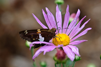 Silver-Spotted Skipper 2