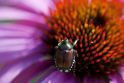 JapaneseBeetle_back