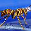 Wasp with Slender Waist