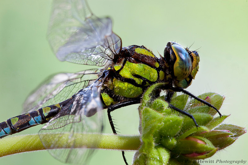 Southern Hawker Dragonfly II