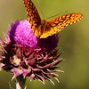 Silver-bordered Fritillary Butterfly