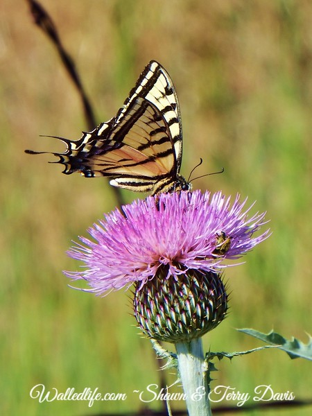Western Tiger Swallowtail on a thistle