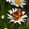 Silvery Checkerspot Butterfly on a Daisy