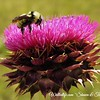 Bumble Thistle