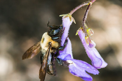 A Heavy Bumblebee