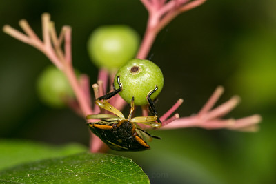 Box Elder Bug Hanging On A Berry