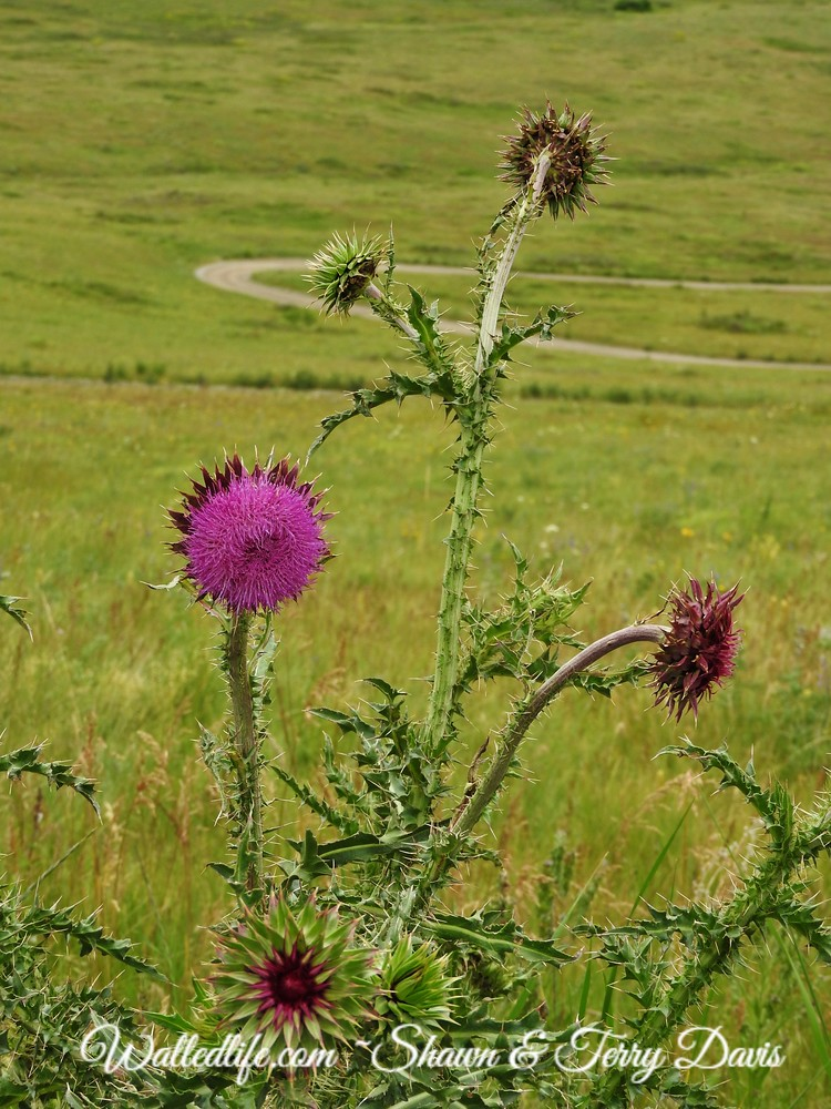 Switchback thistle
