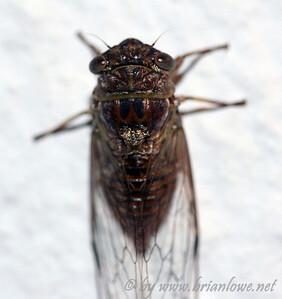 Cicada hanging on same wall