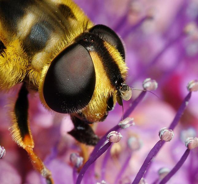 Hoverfly Myathropa florae